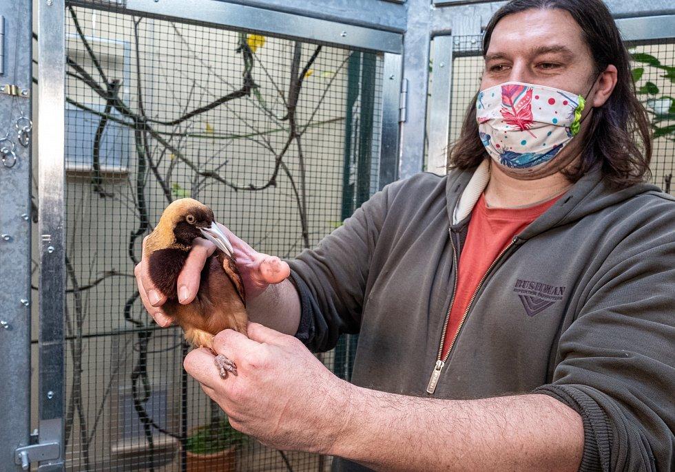 Kurátor Antonín Vaidl umisťuje do nového chovného zařízení prvního mladého samce rajky volavé.