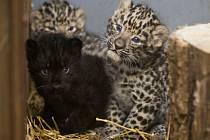 Po třinácti letech se v České republice podařilo odchovat koťata levharta mandžuského. Trojčata této kriticky ohrožené šelmy se v Zoologické zahradě v Praze narodila vůbec poprvé. Jde o dva samce a jednu samici, potomky tříleté Khanky a čtyřletého Kirina.