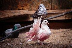 Domov hledají netradiční holuby, prasátko i husa