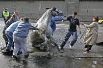 Záchrana splašeného koně na nábřeží kapitána Jaroše.
