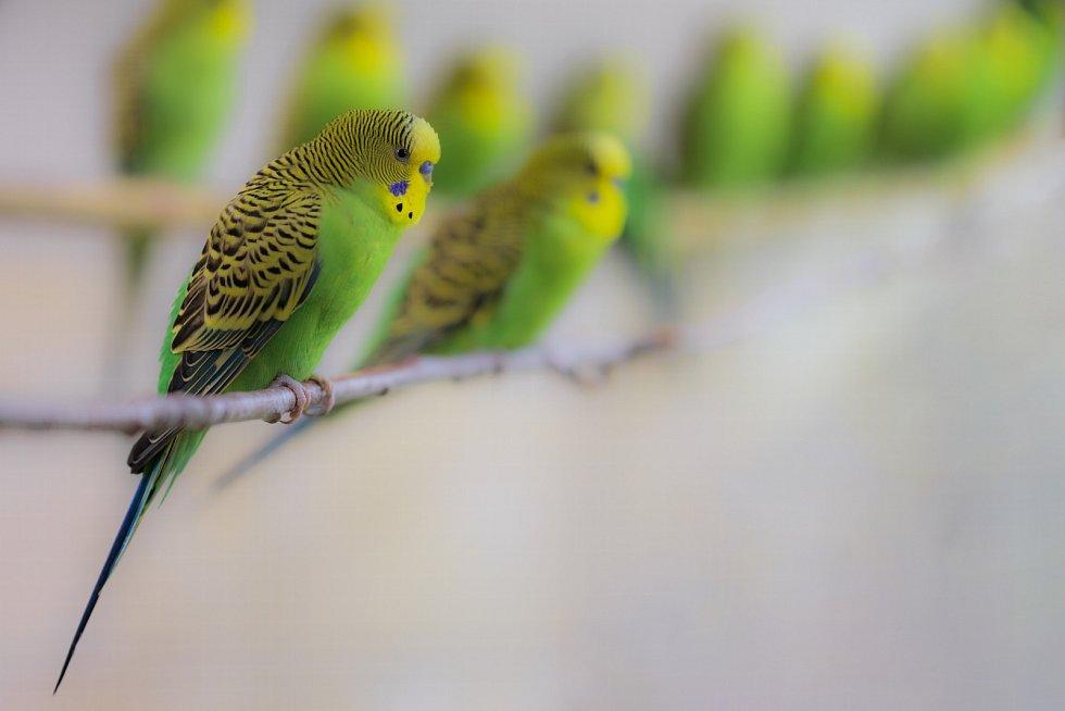 Andulka vlnkovaná patří k nejoblíbenějším exotickým ptákům v chovech. Původní zbarvení je zelenožluté, ale člověk vyšlechtil řadu dalších barev. V zoo chováme divokou formu andulek, které jsou drobnější než jejich zdomácnělé protějšky.