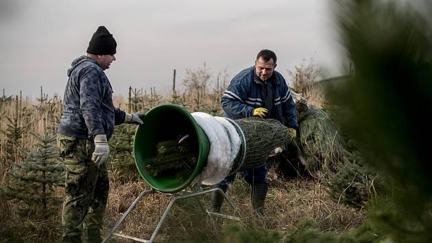 Balení vánočních stromků pro převoz do firmy Zafido na plantáži v obci Konětopy ve Středních Čechách 24. listopadu.