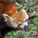 I pandy červené si užívají jara – velmi rády například okusují fialky.