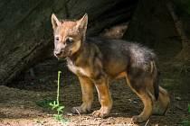 V pátek odpoledne v Zoo Praha proběhnou křtiny paterčat vlků.
