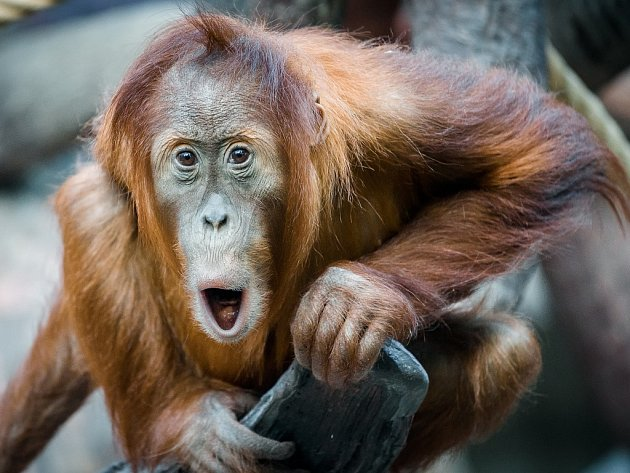Orangutaní samička Diri jako by už vyhlížela oslavu svých narozenin.
