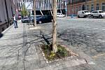 U stromů ve Vítkově ulici v Karlíně vznikly dva guerillové záhonky.