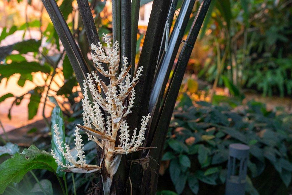 Květenství bílé sloní palmy.