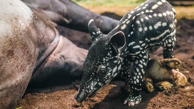 Nápadný chobůtek používají tapíři podobně jako sloni - k trhání rostlinné potravy, jako orgán jemného čichu i k dýchání při pobytu ve vodě a bažinách.