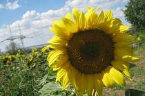 Slunečnice. Ilustrační foto.