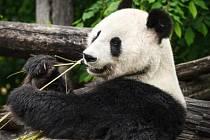Panda velká. Ilustrační foto.