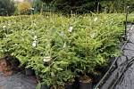 Pražští lesníci opět prodávají vánoční jedličky v květináčích.