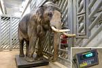 Zoo Praha se připravuje na narození dalších dvou slůňat, která by se měla narodit patrně v březnu. Otcem očekávaných slůňat je Ankhor, původem z Barmy. Ten momentálně váží 4 398 kg.