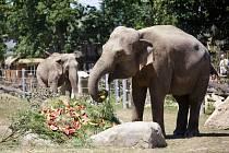 Pražská oslavila 21. července 80 let od příchodu prvního slona. Sloni dostaly dort s melouny.