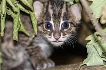 Mládě kočky rybářské začíná opatrně vykukovat z boudičky, kde většinu času tráví se svou matkou.