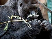 Po likvidaci škod z nedělní vichřice se 31. října opět otevřela pražská zoo pro veřejnost. Popadané větve posloužily jako potrava pro gorily a zubry.