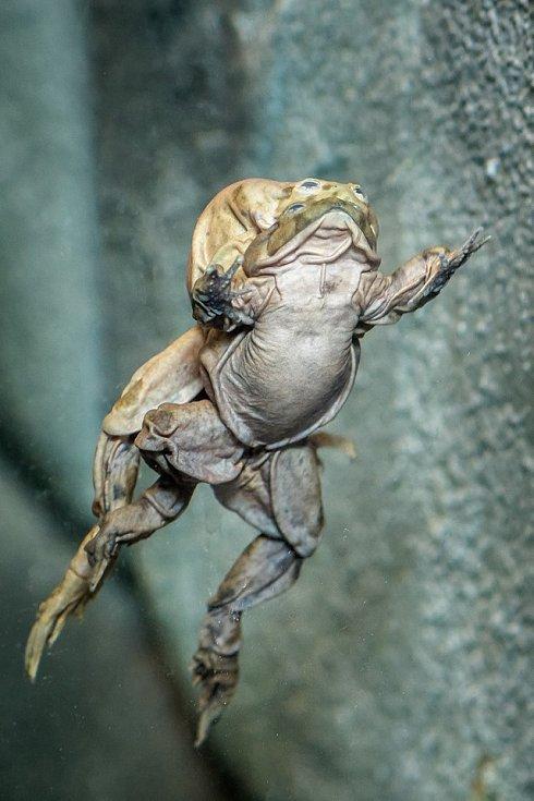 Zoo Praha otevřela v Teráriu u Rezervace Bororo expozici pro vodnice posvátné, pozoruhodné žáby žijící v přírodě pouze v jezeře Titicaca.