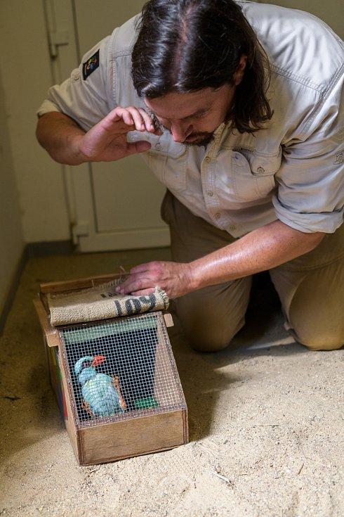 Sameček krasky ze Zoo Praha v ZSL Whipsnade Zoo vytvoří pár se samičkou ze Zoo Chester. Na fotografii jej kurátor chovu ptáků Zoo Praha Antonín Vaidl připravuje na cestu do Anglie.