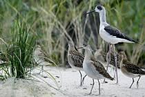 Nová expozice Ptačí mokřady, jejichž hlavní raritou jsou dva páry člunozobců afrických, kterých žije po zoologických zahradách po celém světě pouze kolem čtyřiceti jedinců. Na snímku Pisila čáponohá.