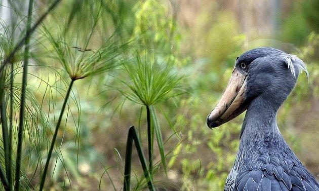 Nová expozice Ptačí mokřady, jejichž hlavní raritou jsou dva páry člunozobců afrických, kterých žije po zoologických zahradách po celém světě pouze kolem čtyřiceti jedinců.