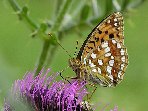 SPOKOJENÝ PRAŽAN. V metropoli se motýlům daří lépe než ve volné přírodě. Na snímku je perleťovec prostřední (Argynnis adippe).