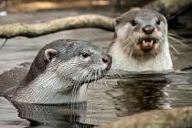 Samec Scotty a samice Kiri se od mláďat vzdalují jenom na chvíli.