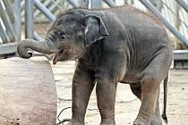Mláďata slonů indických