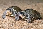 Samci želvy Smithovy jsou oproti samicím poloviční a mají střechovitě zdvižený krunýř. Právě podle tohoto znaku u posledních mláďat chovatelé Zoo Praha poznali, že byla jejich snaha úspěšná a podařilo se odchovat právě samce.