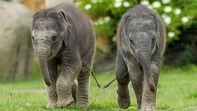 """Pražské sloní """"princezny"""" na snímku z konce května. Vlevo ani ne třítýdenní Amalee, vpravo dvouměsíční Lakuna."""