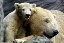 Pětiměsíční lední medvídě se tulí ke své matce Boře (na archivním snímku z roku 2004)