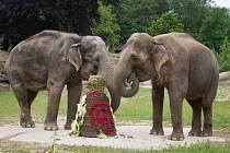 Slonice Gulab oslavila v Zoo Praha šedesáté narozeniny.