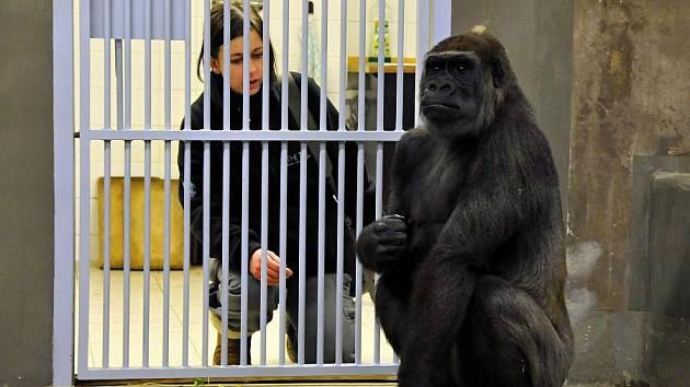 Gorilí samice Bikira s chovatelkou Gayle Lamrock po příjezdu do Prahy.