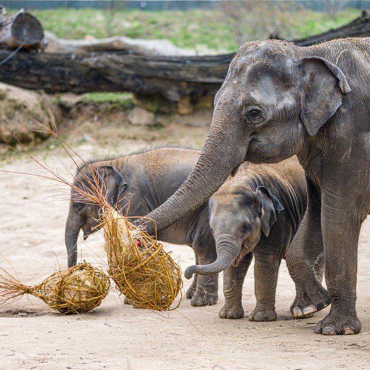 Oslava Maxových 5. narozenin a Velikonoce 2021 u slonů v pražské zoo.