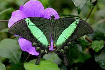 Exotický motýl Papilio palinurus.