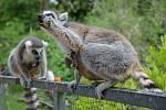 Obě samice – Anka i Móni – se o svá mláďata vzorně starají. V popředí Anka.