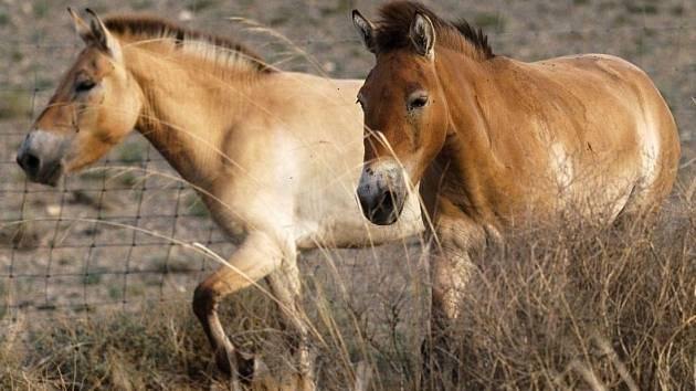 Klisny koně Převalského se v Mongolsku seznamují s novým prostředím.