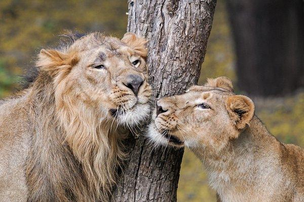 Pražská Zoo získala trojici indických lvů. Na snímku Jamvan.