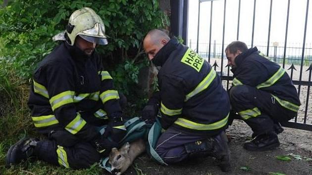 Srnka se zasekla ve vratech pražské botanické zahrady. Pomohli jí hasiči.