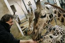 Kmotr Milan Steindler krmí početnou rodinu žiraf Rotschildových.