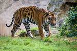 Samec tygra sumaterského Falco.