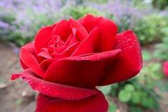 Na vrchu Petřína rozkvetlo osm tisíc růží