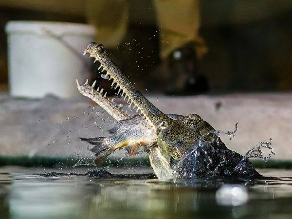 Krmení gaviálů indických je pro návštěvníky pražské zoo velmi zajímavá podívaná.