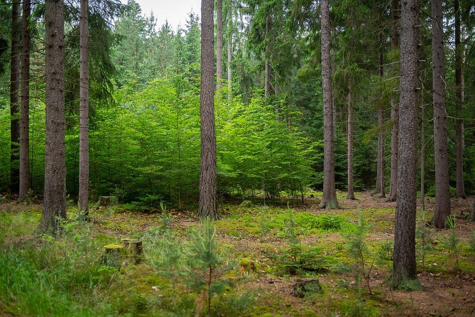 Nepasečné hospodaření v lesích u Klokočné.