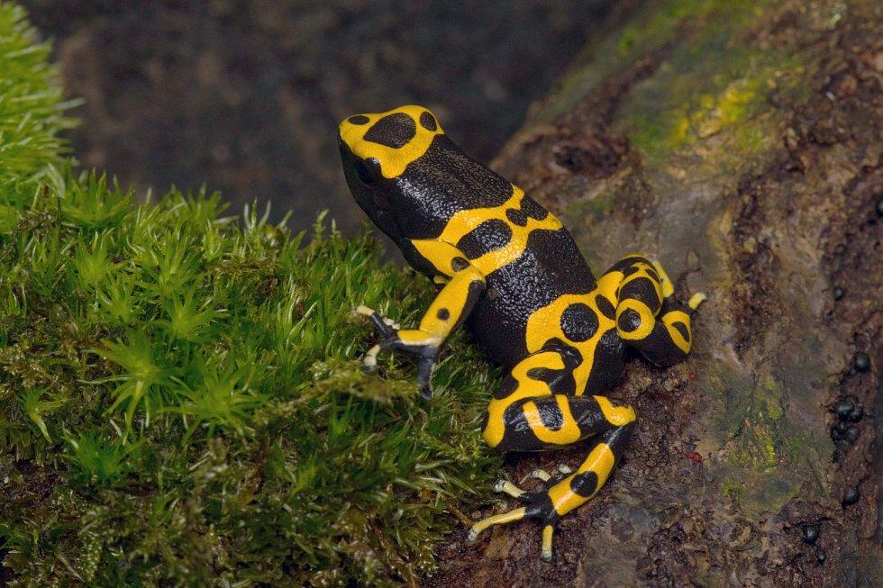 Jednou z ikonických žab s velmi výrazným zbarvením, které uvidíte na výstavě v Zoo Praha, bude i druh s názvem Dendrobates leucomelas.