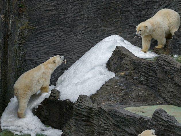 Výrobník ledu v Zoo Praha je pro lední medvědy příjemným zpestřením. Zejména při tropických teplotách si užívají na sněhu.