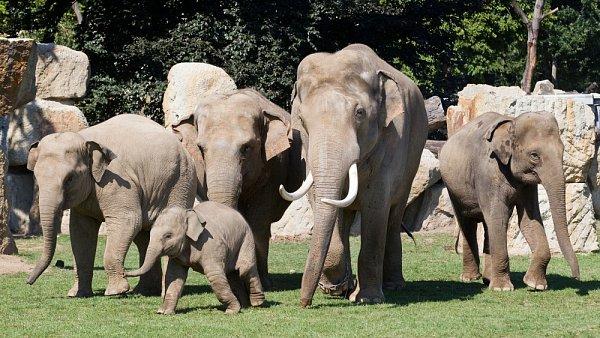Velikostní rozdíl mezi Mekongem, který je největším zvířetem vzoo, a samicemi je patrný.
