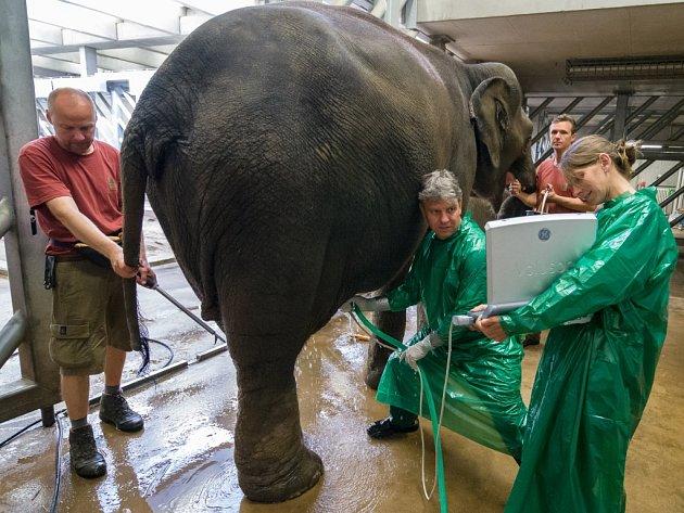 Doktor Thomas Hildebrandt se svou asistentkou provádějí ultrazvukové vyšetření slonice Janity.