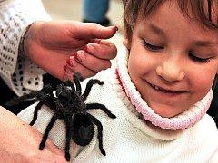 Miláček rodiny. Alespoň podle představ chovatelů pavouků, kteří ani na nejjedovatější druhy nedají dopustit.