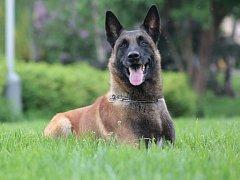 Služební pes Bond, který dopadl pachatele.