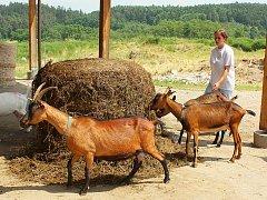 Od dojení po výrobu. Kozí farma Saint Pierre v Zahrádce u Petrovic
