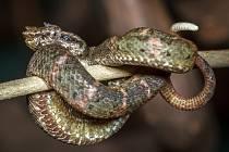 Kontrastní ocásek mohou křovináři ostnití nabídnout místo hlavy i při ohrožení predátorem.